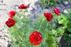 Fiori rossi della peonia sviluppati su un letto di fiore stretto-leaved del giardino Il nome latino è tenuifolia di Paeonia Fondo fotografia stock libera da diritti