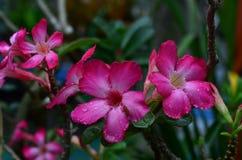 Fiori rossi della rosa del deserto Fotografia Stock
