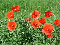 Fiori rossi delle piante di rhoeas del papavero fotografia stock
