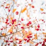 Fiori rossi di autunno su un albero immagine stock