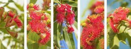 Fiori rossi di eucalypyus dell'insegna panoramica australiana della natura Immagini Stock Libere da Diritti
