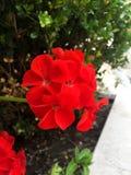 Fiori rossi di giorno fotografie stock libere da diritti