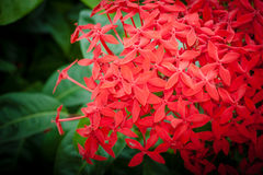 Fiori rossi di ixora Fotografia Stock Libera da Diritti