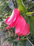 Fiori rossi di rosso del ceppo immagini stock libere da diritti