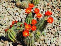 Fiori rossi di un cactus dell'Arizona in piena fioritura nell'estate Immagini Stock