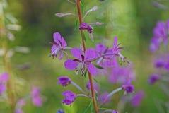 Fiori rossi di una pianta selvatica del salice del tè su un fondo verde Fotografia Stock Libera da Diritti