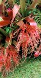 Fiori rossi Droopy del dito fotografia stock