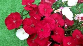 Fiori rossi e bianchi dei garofani cinesi, Dianthus chinensis video d archivio