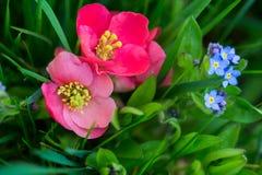 Fiori rossi e blu nell'erba Fotografia Stock Libera da Diritti