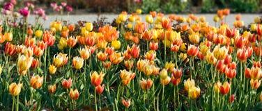 Fiori rossi e gialli del tulipano. Immagini Stock Libere da Diritti