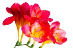 Fiori rossi e gialli di freesia Fotografie Stock Libere da Diritti