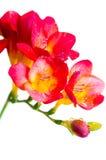 Fiori rossi e gialli di freesia Fotografia Stock