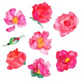 Fiori rossi e rosa appassionati sui precedenti bianchi, isolati illustrazione di stock