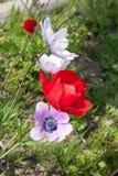 Fiori rossi e viola Fotografia Stock