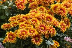 Fiori rossi ed arancio del crisantemo in fioritura Fotografia Stock