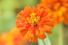Fiori rossi, fiori variopinti, fondo della sfuocatura Fotografie Stock