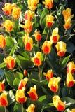 Fiori rossi gialli del tulipano Immagini Stock