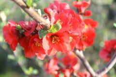 Fiori rossi giapponesi della prugna Fotografia Stock Libera da Diritti