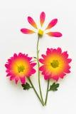 Fiori rossi isolati su fondo bianco Concetto di fioritura Disposizione piana Fotografie Stock