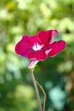 Fiori rossi luminosi della pianta da appartamento vaghi Fotografie Stock Libere da Diritti