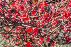 Fiori rossi luminosi sulla pianta del ramo Fotografia Stock