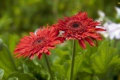 Fiori rossi lungo il viale del commonwealth fotografie stock libere da diritti