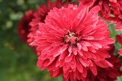 Fiori rossi nel giardino Immagine Stock