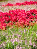 Fiori rossi nel giardino fotografia stock