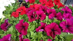 Fiori rossi sul mercato di Bayloni a Belgrado fotografia stock libera da diritti