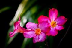 Fiori rossi tropicali Fotografie Stock Libere da Diritti