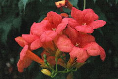 Fiori rossi - Unguis di Bignonia - cati Immagine Stock Libera da Diritti