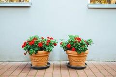 Fiori rossi in vasi da fiori Immagine Stock Libera da Diritti