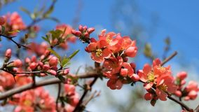 Fiori rosso arancio della cotogna giapponese Cotogna di fioritura del ` s del Maule video d archivio