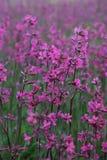 Fiori rosso magenta Fotografia Stock