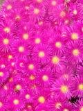 Fiori rosso magenta Fotografie Stock Libere da Diritti