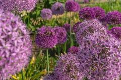 Fiori rotondi porpora della cipolla gigante nel giardino Fotografie Stock Libere da Diritti