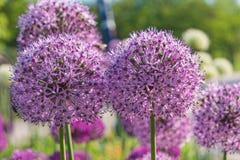 Fiori rotondi porpora della cipolla gigante nel giardino Fotografia Stock