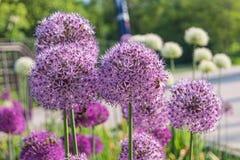 Fiori rotondi porpora della cipolla gigante nel giardino Fotografie Stock