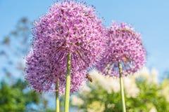 Fiori rotondi porpora della cipolla gigante nel giardino Fotografia Stock Libera da Diritti