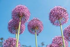Fiori rotondi porpora della cipolla gigante nel giardino Immagine Stock Libera da Diritti