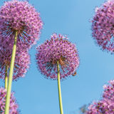 Fiori rotondi porpora della cipolla gigante nel giardino Immagini Stock Libere da Diritti