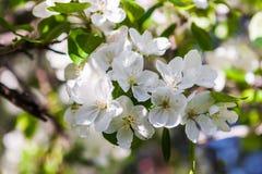 Fiori sboccianti della molla di un Apple-albero e di un fogliame verde Fotografia Stock Libera da Diritti