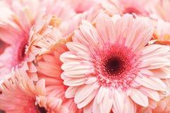 Fiori sboccianti di rosa della gerbera autunno/di estate fotografie stock libere da diritti