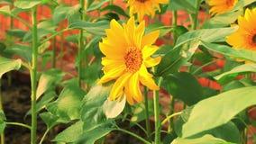 Fiori sboccianti, girasoli, sole di estate, fiori appassionati, stock footage