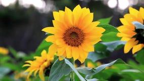 Fiori sboccianti, girasoli, sole di estate, fiori appassionati, video d archivio