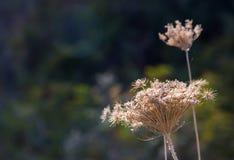 Fiori secchi dell'aneto nel selvaggio Immagini Stock