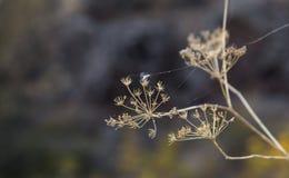 Fiori secchi dell'aneto nel selvaggio Fotografie Stock Libere da Diritti