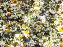Fiori secchi della camomilla Fotografie Stock