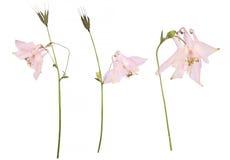 Fiori secchi ed urgenti di un fiore vulgaris rosa di Aquilegia isolato su un fondo bianco Fotografia Stock Libera da Diritti