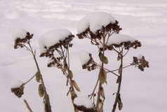 Fiori secchi nella neve Fotografie Stock Libere da Diritti